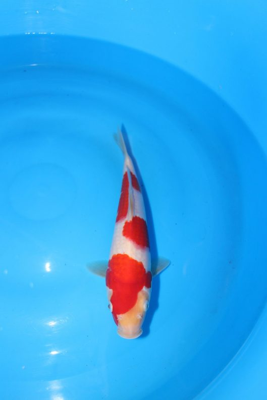 "High Quality Kohaku  Offspring of ""M Tanchozuru"" Female Oyagoi ""M Tanchozuru"" (an offspring of ""Love Queen"") is a Tancho Kohaku bred by Sakai Fish Farm Bred by Marugen Koi Farm, Singapore Owned by Sean"