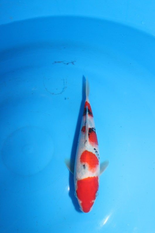 "High Quality Taisho Sanke 18th Singapore Koi Show 2014 3rd Prize - Sanke (25BU) Offspring of ""M Tanchozuru"" Female Oyagoi ""M Tanchozuru"" (an offspring of ""Love Queen"") is a Tancho Kohaku bred by Sakai Fish Farm Product of Marugen Koi Farm, Singapore"