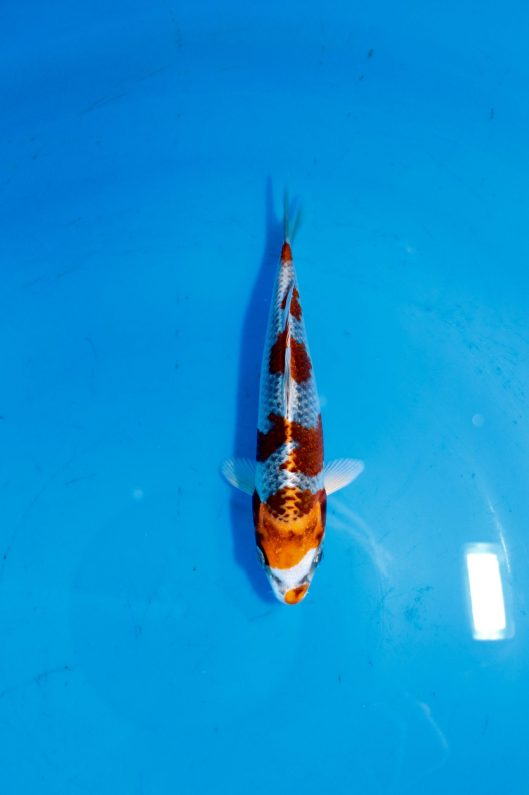 "Kuchibeni 6-Steps Kujaku Offspring of ""J Blessing"" Bred by Marugen Koi Farm"