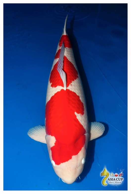 Sakai Kohaku (98 cm) GRAND CHAMPION The 7th Asia Cup Koi Show 2014 (Thailand) Bred by Sakai Fish Farm