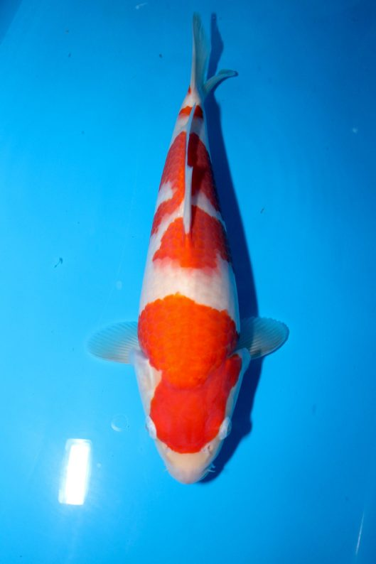 "Kohaku Tategoi Offspring of ""Ms MB"" Bred by Marugen Koi Farm"