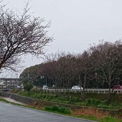 事務所周辺の桜はまだ咲きません。そもそも桜開花前後になると必ず雨が降り、風が吹き、花が早く散ってしまいます。さみしいけど、だから風情があるのでしょうね。はーるよこい