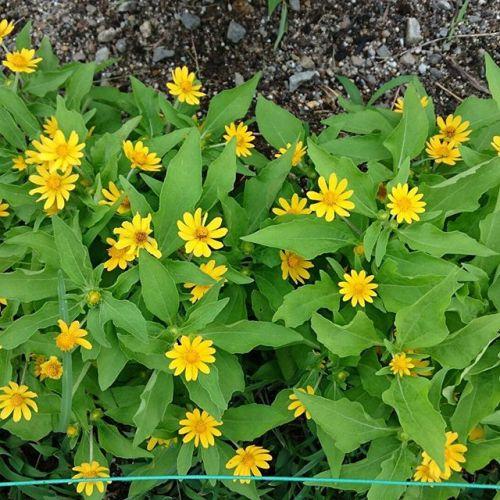 1人の方がボランティアで綺麗に花を咲かせてくださいます。それが他の方にも少しづつ広がり、土手が益々美しくなって行きます。父がまいた花も咲きました。