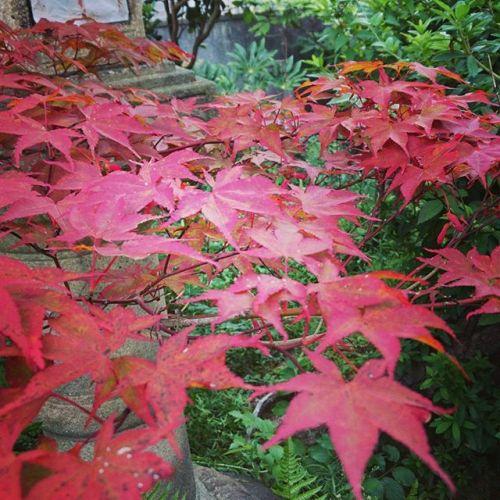 お客様宅のお庭。もう紅葉が色づいていました。朝晩涼しくなり、秋の始まりですね#伊丹市 #自然 #木 #空 #緑 #昆陽池公園 #さんぽ  #地元にずっとある工務店でありたい  #丸野工務店