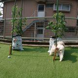 トマトの袋栽培雨よけ