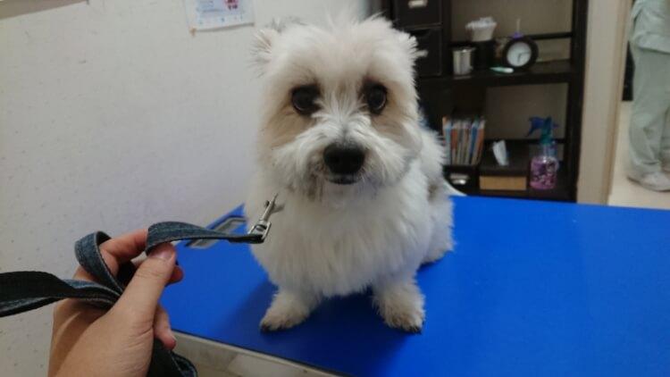 診察台の上のマルパピ犬
