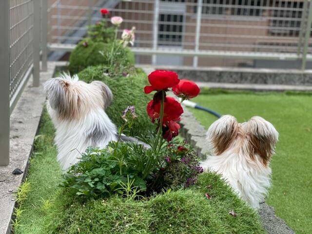 いい感じに撮れた二匹の犬と赤い花