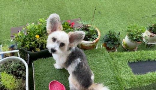 ガーデニングおしゃれに出来た鉢植えといじけ犬