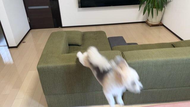 ソファーから飛び降りるミックス犬