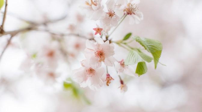 今年の桜も終わりです