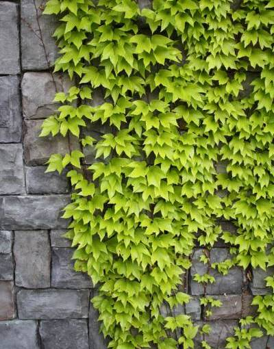 The DOs and DON'Ts of Wall Ivy