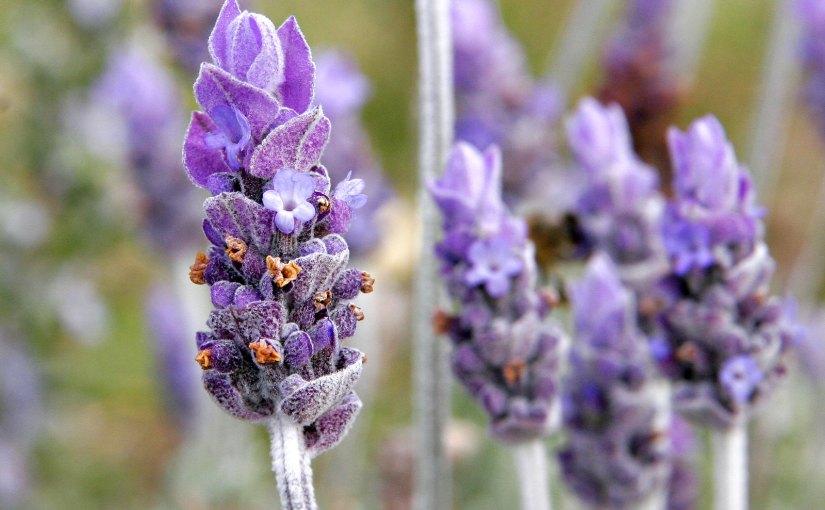 6 Lavender Care Tips