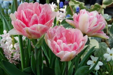 3 Great Tulip Varieties For Your Spring Garden
