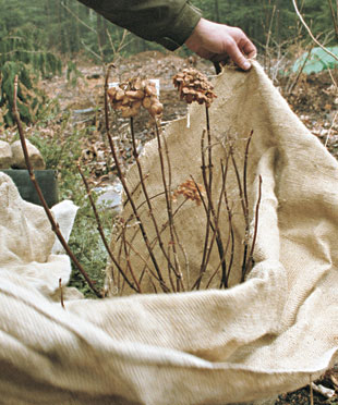 wrap a plant in burlap