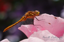 dragonfly on pink rose