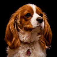 Nani, the King Charles Cavilier Spaniel
