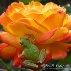 Judy Garland, rose, pacific tree frog