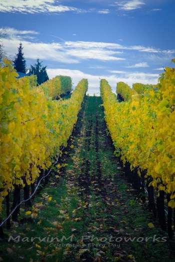 willamette, oregon, vineyard, worden hill