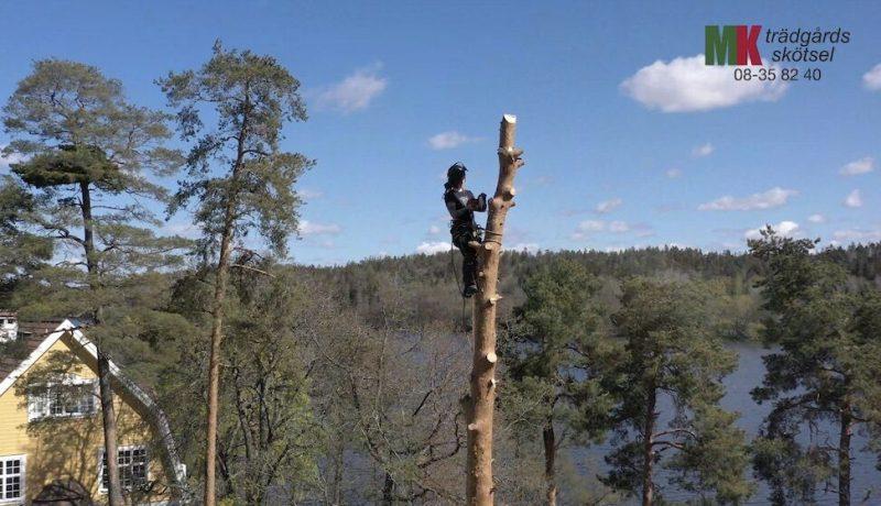 Vem sitter där uppe i träden? MK Trädgårdskötsel, såklart!
