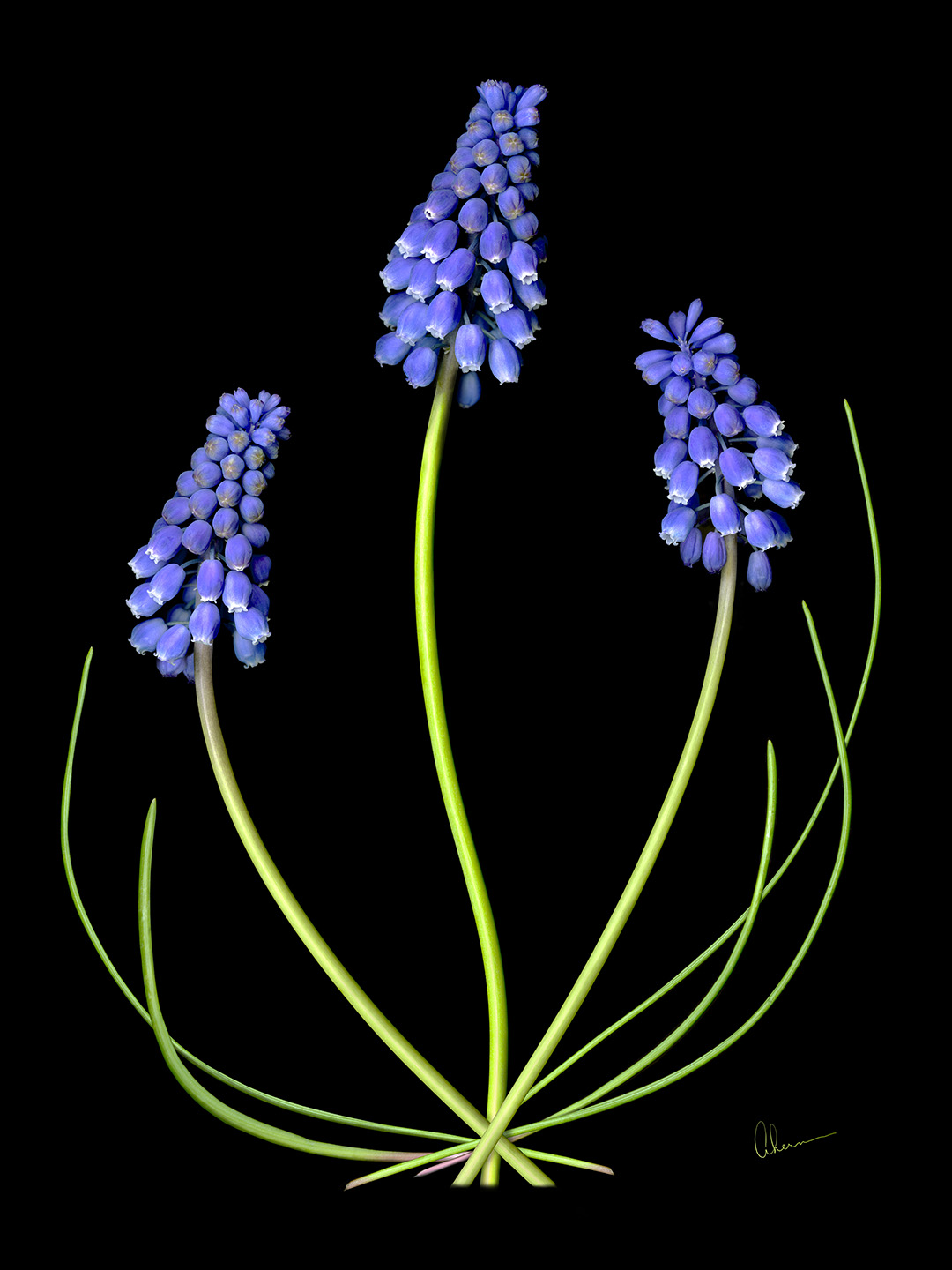 Grape Muscari