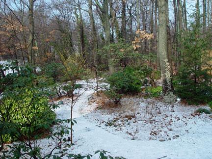 Hamemelis x intermedia 'Arnold Promise' lighting up my late winter garden.