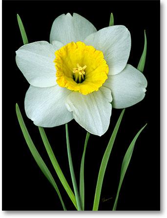 0604-04 Single White Daffodil