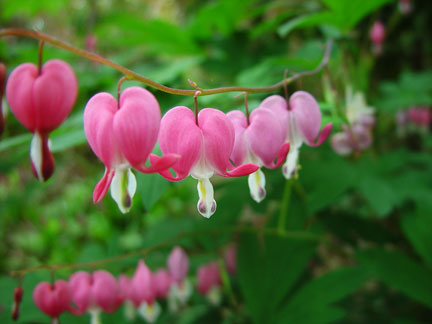 Dicentra spectabilis otherwise known as Bleeding Heart