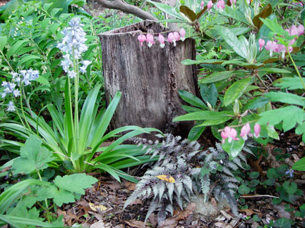 Dicentra spectabilis vignette with Athyrium nipponicum var. pictum fern, Hyacinthoides hispanica and Polygonatum biflorum or Solomon's seal.