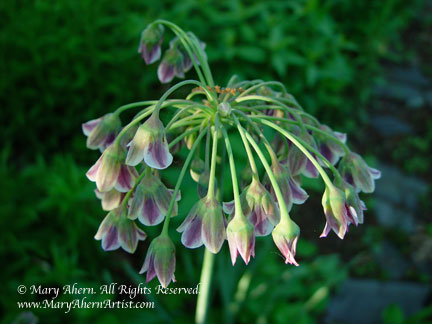 Allium bulgaricum in full bloom in the garden that inspires the artist, Mary Ahern
