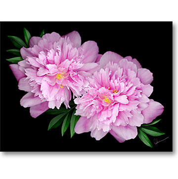 Kansas Peonies Artwork made from the original gift from my son Chris. By the Artist, Mary Ahern.