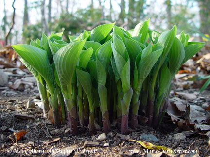 Hosta 'Blue Cadet' emerging in April in the garden of the Artist, Mary Ahern.