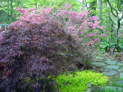 Japanese Maple in the garden of the Artist, Mary Ahern.