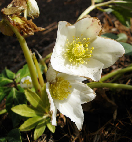 Hellebore niger were in bloom as were the less showy Hellebore foetidus