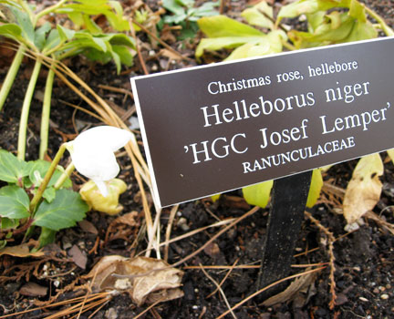 In my own garden I have many cultivars of Hellebore but no Christmas roses