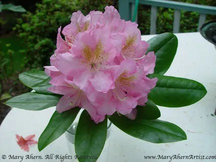 elipidote rhododendron