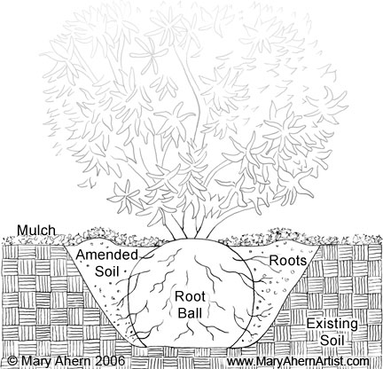Rhododenron planting diagram