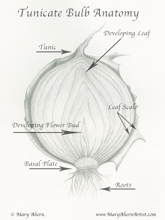 Tunicate Bulb Anatomy of an Onion by the Artist, Mary Ahern
