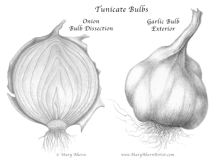 Graphite Drawing of a Onion and Garlic bulbs by the Artist, Mary Ahern