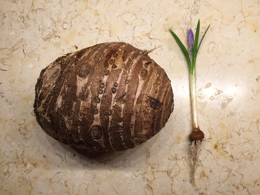 Image result for corms