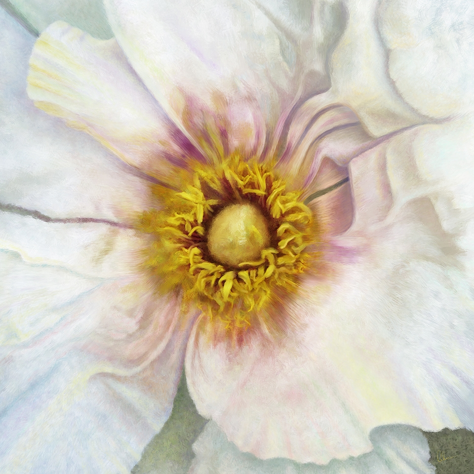 Whtie Peony Squared artwork by the artist, Mary Ahern