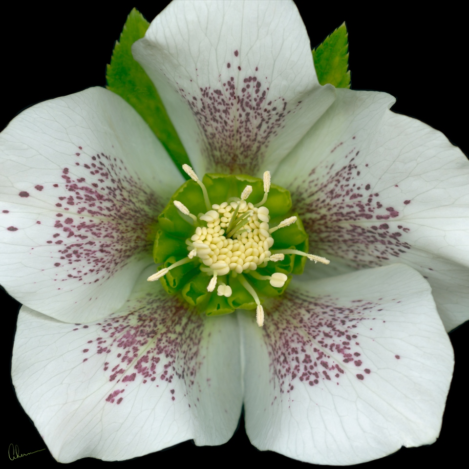 Royal-Heritage-Hellebore fine art prints by the artist, Mary Ahern