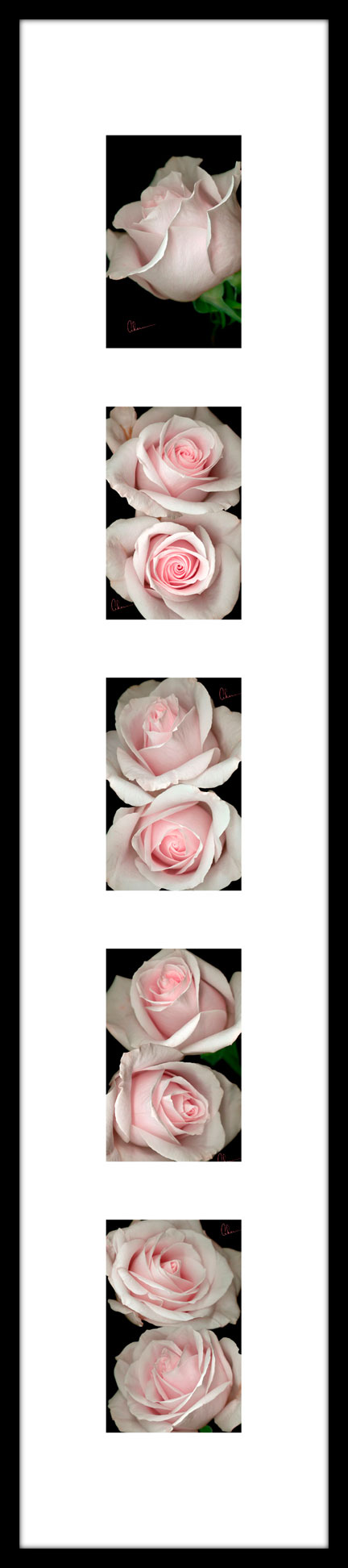 Pink Rose Montage