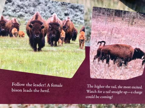 This is where I show a picture of bison, the kind I never actually saw in person.