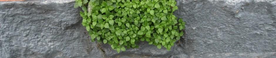 advanticious weed