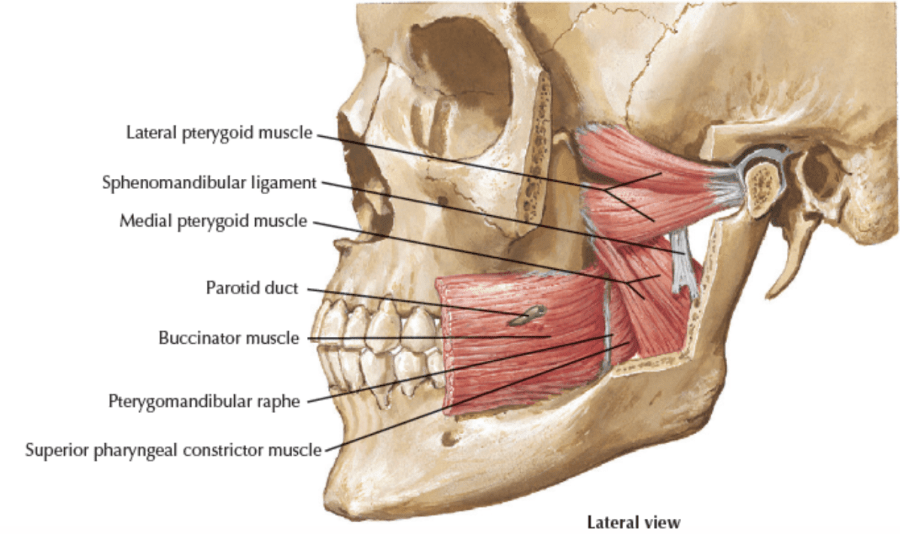 anatomy of the jaw muscles