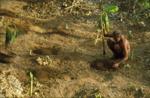 Planting yams - New Guinea