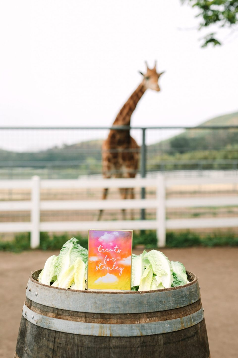 Stanley the giraffe's lettuce snacks by Mary Costa Photography