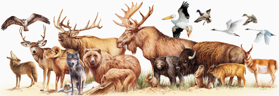 A piercing bugle call, barking, mewing, and squealing are some of the sounds elk use. Rocky Mountain Mammal Size Comparisons Mary Donahue