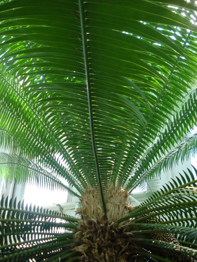 Fern frond at Como Park Conservatory, St. Paul, MN, Mary Warner, 2014.