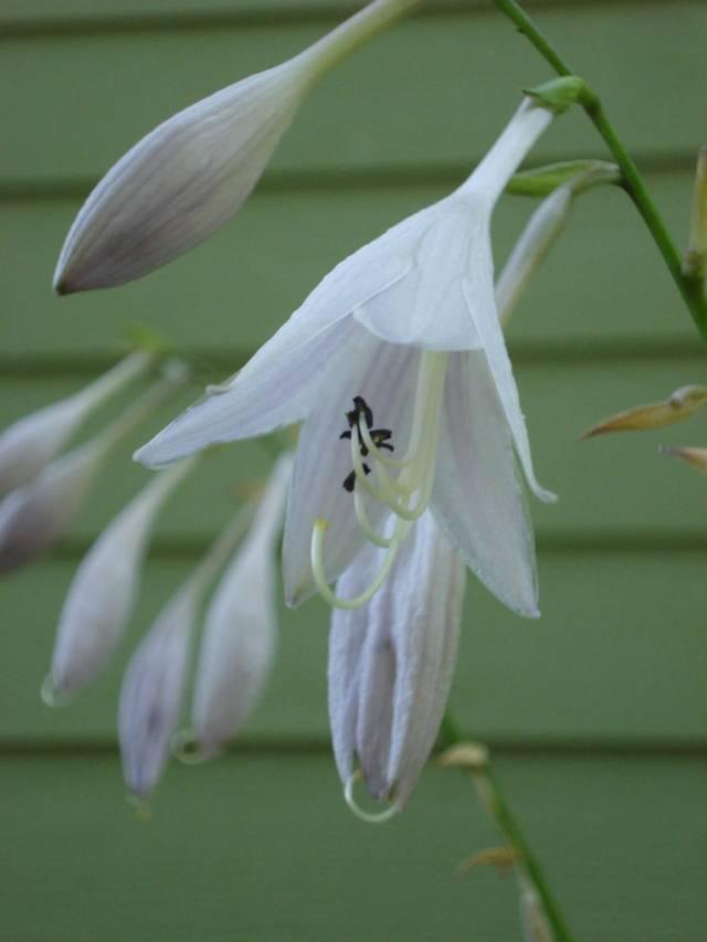 Close-up of hosta flower, Mary Warner, July 26, 2015.